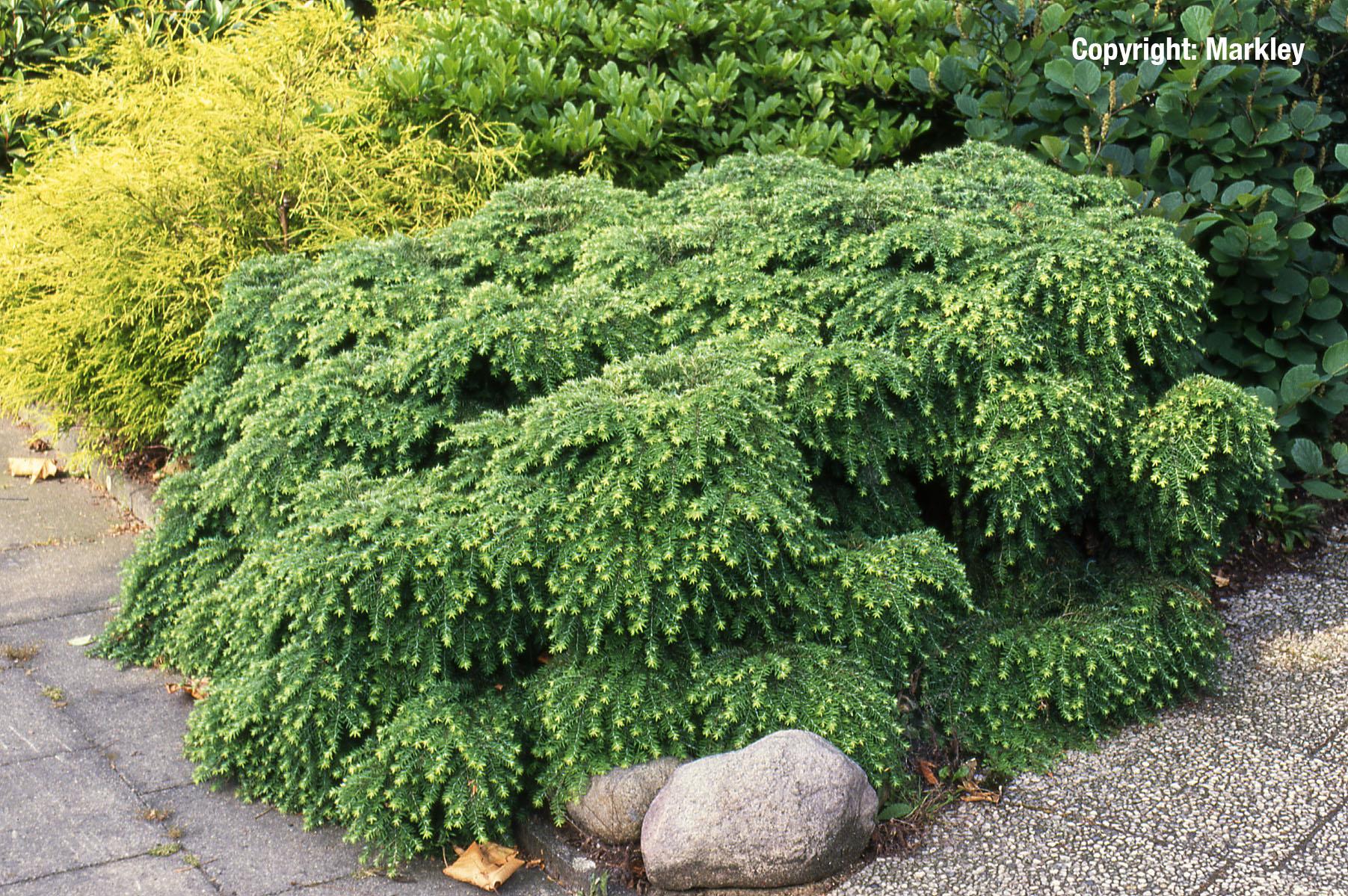 langsam wachsende pflanzen maik rohdich garten und landschaftsbau herne fachgebiet buchsbaum. Black Bedroom Furniture Sets. Home Design Ideas