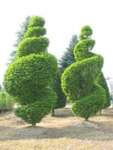 Carpinus betulus Fastigiata