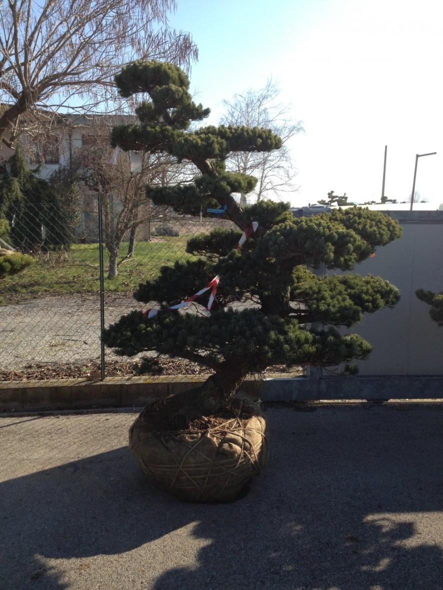 oberpfalz bonsai garten punzmann gmbh menzlhof. Black Bedroom Furniture Sets. Home Design Ideas