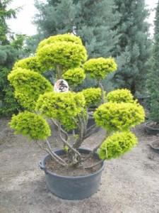 Taxus baccata Semperaurea