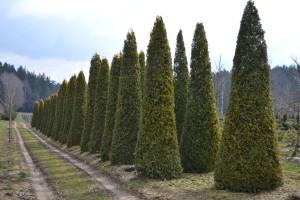 Thuja Euorpe gold Garten Punzmann (1)